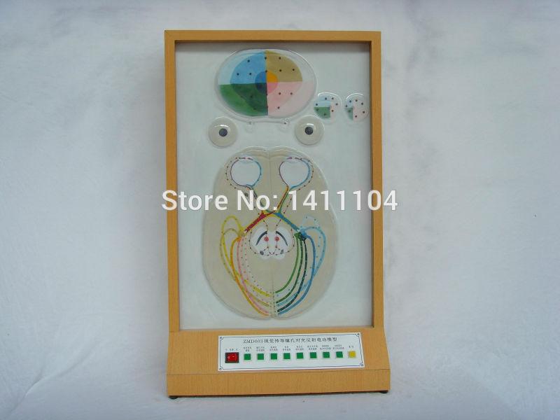 [해외] 및 전기 전도 눈동자, 반사 모델, 눈 모델, 과학 및 교육, 해부학 모델/Free shipping&Visual conduction pupil to light reflex electric model, eye model, science and educat